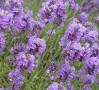 Levănțica, o plantă cu beneficii multiple